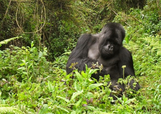 Gorillas - November 2010 047