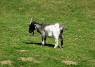 Pygmy goat - Longleat