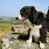 Jack - the posing collie