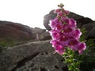 Dartmoor flowers