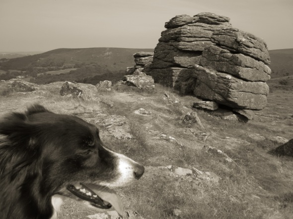 Dartmoor and posing collie